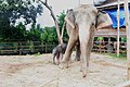 New born elephant (30 oct 2010) name nong larnkoon at elephant village (Bantaklang) - panoramio.jpg