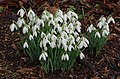 Newington Cemetery is absolutely full of lovely snowdrops. (12411585145).jpg