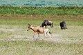 Ngorongoro 2012 05 30 2674 (7500969814).jpg