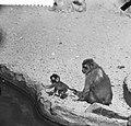 Nieuws uit Artis Rhesus-aapjes, Bestanddeelnr 912-5656.jpg
