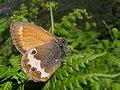 Ninfa perlada * Coenonympha arcania (14489304350).jpg