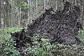 Nogāzies koks, Vecumnieku pagasts, Vecumnieku novads, Latvia - panoramio.jpg