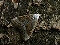 Nola aerugula - Scarce black arches - Карликовый шелкопряд берёзовый (30021716988).jpg