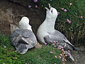 Northern Fulmar scotland RWD4.jpg