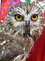 Northern Saw-Whet Owl (Aegolius acadicus).jpg