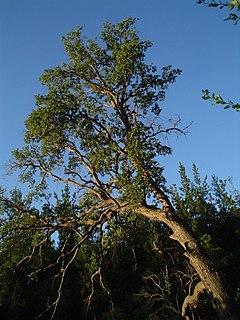<i>Nothofagus glauca</i> species of plant