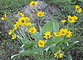 Npnht-balsamroot-flowers-near-sula-mt-05302013-rogermpeterson-006 (8971561126).jpg