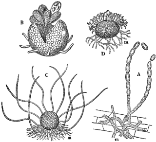 <i>Erysiphe cruciferarum</i> Species of fungus