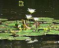 Nymphaea ampla, Mayan Water Lilies (9679364907).jpg