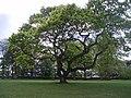 Oak tree, Carnoustie House Ground's - geograph.org.uk - 426852.jpg