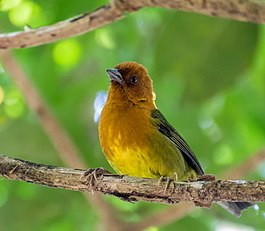 Ochre-breasted Brushfinch - Atlapetes Ajicero (Atlapetes semirufus denisei) (25112939111).jpg