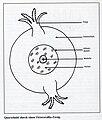 Octocorallia Querschnitt.jpg
