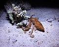 Octopus (Night Dive).jpg