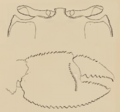 Ocypode convexa carapace profile and stridulating ridge original color.png