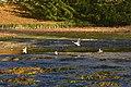 Oiseaux d'eau dans la vase (22943772255).jpg