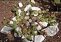 Opuntia humifusa Raf. 03.jpg