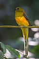 Orange-breasted Trogon Cropped.jpg