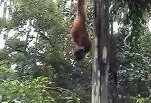 File:Orangutans.ogv