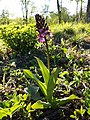 Orchis purpurea sl57.jpg