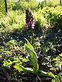 Orchis purpurea sl59.jpg