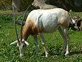 Oryx dammah Warsaw.jpg
