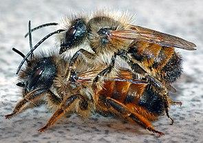 Rote Mauerbienen (Osmia bicornis)