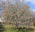 Ostereierbaum mit 10.000 Eiern geschmückt IMG IMG 9614WI.jpg
