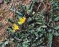Othonna auriculifolia 15264407.jpg