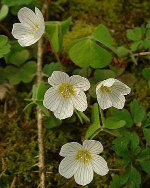 Oxalis acetosella (Common woodsorrel)