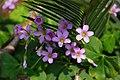 Oxalis corymbosa 紫花酢漿草 - panoramio.jpg