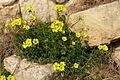 Oxalis pes-caprae from Malta.JPG