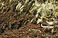 Oystercatcher, Anglesey (26208934141).jpg