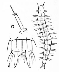 PSM V37 D357 Larva of flea.jpg