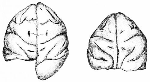 PSM V46 D173 Half and full blindness in a monkey by the removal of the brain eye control.jpg