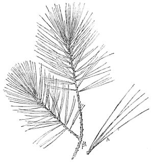 4 besides Palm Trees Clipart Black And White 1913 further People Cutting Trees Clipart 1943 as well Longleaf Pine Tree Drawing also People Cutting Trees Clipart 1943. on pine tree top view