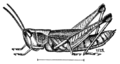 PSM V81 D472 The short winged locust or grasshopper.png