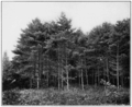 PSM V81 D540 Natural white pine growth of trees planted by daniel webster.png