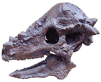 Pachycephalosauria - Cast of a Pachycephalosaurus wyomingensis skull, Oxford University Museum of Natural History