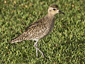 Pacific Golden Plover3.jpg