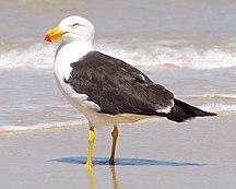 MacLean Island-Fauna-Pacific Gull