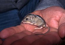 Pacific pocket mouse 4.jpg