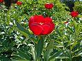 Paeonia peregrina 2016-05-20 1174.jpg