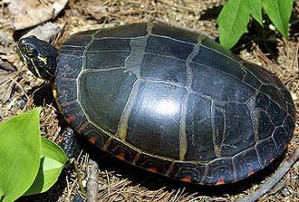 Painted turtle - Full overhead shot of an eastern painted turtle