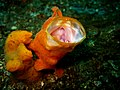 Painted FrogFish yawning.jpg
