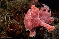 Painted frogfish from North Sulawesi; Christian Gloor; July 2016.jpg