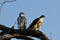 Pair of African Hawk-Eagles.jpg