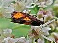 Pammene aurana (Tortricidae) - (imago), Arnhem, the Netherlands - 2.jpg