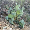 Pancake Prickly-pear - Flickr - treegrow.jpg