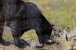 schwarzer puma vorkommen