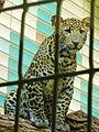 Panthera pardus melas (Tierpark Berlin) - 1006-888-(118).jpg